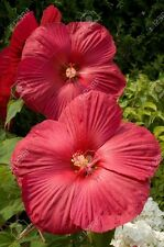 15+ Red Dinnerplate Hibiscus Flower Seeds / Perennial