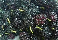 100 Mulberry Fruit Tree Seeds