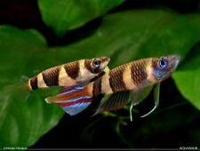 "Clown ""Rocket"" Killifish – (Pseudepiplatys Annulatus) - Live Freshwater Fish"