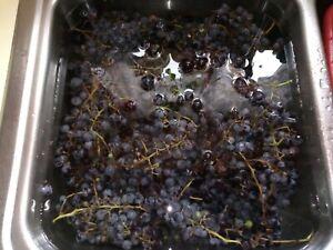 Organic Super Sweet Concord Grape Seeds