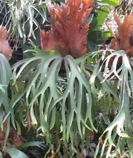 Fresh Staghorn Fern (The spore of Platycerium willinckii ) 500 spore