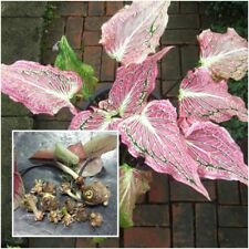 Caladium 1 Tuber, Queen of the Leafy Plants ''Hoklong'' Tropical From Thailand
