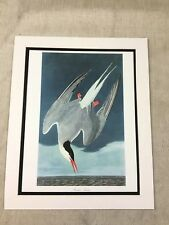 Vintage Print Arctic Teal Bird Audubon's Book of Birds of America LARGE Folio