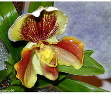 Paphiopedilum 10 Orchid Note Cards with Envelopes