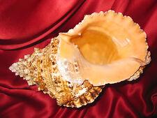 "Huge Bursa Buba Seashell from Pacific Ocean, 23cm =9.2""inches"