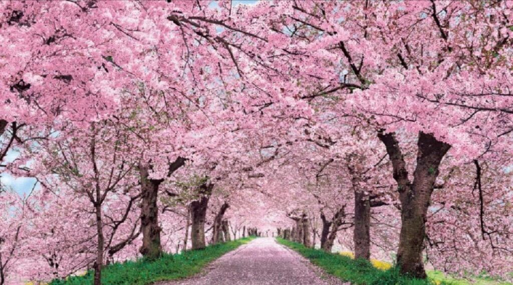 Sakura Sky 2016