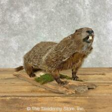 #21493 N+ | Woodchuck Life-Size Taxidermy Mount For Sale