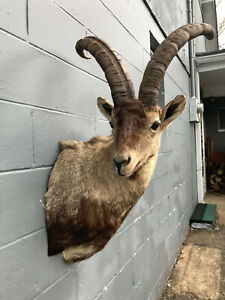 *RARE* Gredos Ibex Shoulder mount Taxidermy Log Cabin Hunting Lodge Decor