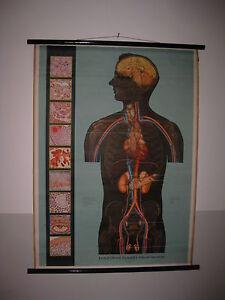 GERMANY VERLAG HUMAN BODY ENDOCRINE GLANDS ANATOMY SCHOOL MAP MAPPA CARTE KARTE