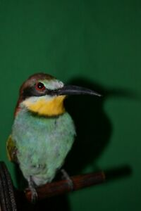 Taxidermy bee-eater Bird Stuffed animal Mount Colored Bird 2
