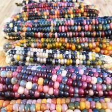 15X GLASS GEM CORN SEEDS Heirloom Rainbow Organic Vegetable Indian Heirloom Rare