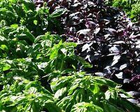 ☺150 graines de basilic. 8 variétés  en mélange dans le même sachet. Voir détail