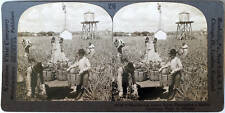 Keystone Stereoview Harvesting Pineapples in FLORIDA FL from the 1920's 400 Set