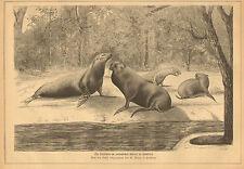Seals, In Hamburg, Zoo, German, Vintage, 1875 Original, Antique, Art Print