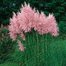 Pampas Grass Seeds Pink 500 Seeds Ornamental Grass Seeds