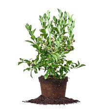 Tifblue Blueberry, Live Plant, Size: 1-2 ft.