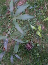 Ceratozamia hildae, 1 plante