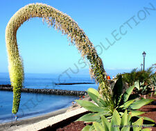 Rare Agave Attenuata spineless agaves succulent plant seed aloe garden 100 Seeds