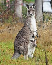 Kangaroo & Joey 8 x 10 GLOSSY Photo Picture
