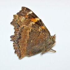 Lepidoptera  Nymphalidae Nymphalis xanthomelas Russia