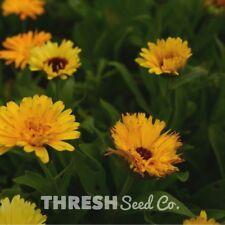 Garden Flower - Fiesta Gitana Marigold - 250 seeds + Free Gift