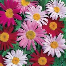Chrysanthemum Robinson's Painted Daisy Mix Seed Perennial Excellent Cut Flower