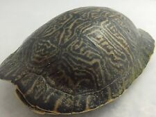 Real Turtle Shell - 9 - 10 inch Long - River Cooter (King) - Carapace Taxidermy