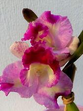 Cattleya PERFECT PRIMAVERA SPLASH Japón Selection Orquídea