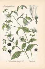 Silene vulgaris - Taubenkropf-Leimkraut THOME Litho 1886 Knirrkohl Klatschnelke