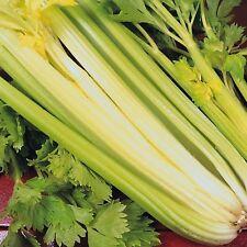 Vegetable Celery Golden Self Blanching 20 grams appx 50,000 seeds Bulk