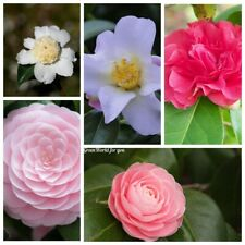 5 Camellia Flower Seeds Rare 9 Kinds Beautiful Fragrant Perennial Garden Plants
