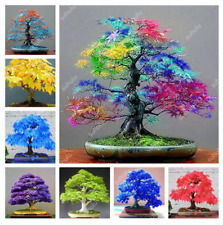 50 Pcs Seeds Colorful Mini Mixed Japanese Maple Bonsai Tree Garden Rare 2019 New