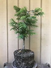 Yamadori Rescue 2014 Grand Fir Tree Pre-Bonsai•Snow Burdens Dwarfed+Rwd+Moss