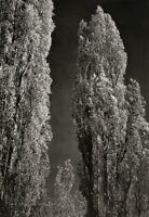 1936/72 Vintage ANSEL ADAMS Poplar Trees California Landscape Photo Art 11X14