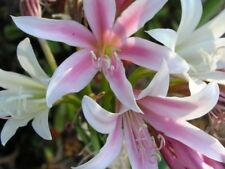 Crinum Lily, bulbispermum, Oak Lawn Cemetery , small-size bulb, NEW, very RARE
