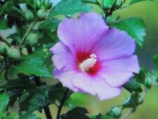 ROSE OF SHARON PLANTS
