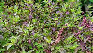 100 Indian Bangladeshi Black Holy Tulsi Basil Seeds, King Herb Health & Wellness