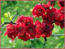 Cognassier Japon Rouge RED Chaenomeles japonica 12 Graines Zaden 12 Seeds