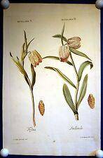 FRITILLARIA Festus u. Bellinde - Kupfer aus Hortus Nitidissimus TREW um 1760!
