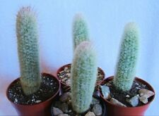 Back Again! Espostoopsis Dybowski Cactus From Brazil Aprx. 6 T0 8 Inches Tall