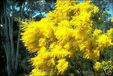 Snowy River Wattle (A. boormanii) 30 Seeds Frost Snow Hardy Evergreen