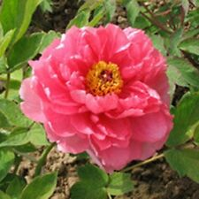 Pink and White Flower China's Peony Seeds Paeonia suffruticosa Tree DIY Garden