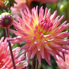 Pink Cactus Dahlia Karma Sangria Cactus Form 3 small Bulbs  Blooms This Summer