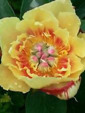 Tree Peony Root Bright Color Flower Summer Bloom Fragrant Perennial Garden Decor