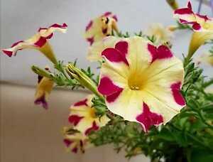 Petunien * Nr.7 * Petunia * 50  Blumensamen * handverlesen