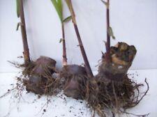New listing Black Red Sugarcane Plants Organic 6 Germinated Sugar Cane Perennial Plants