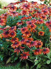 30+ Rudbeckia Cappuccino Flower Seeds / Reseeding Annual
