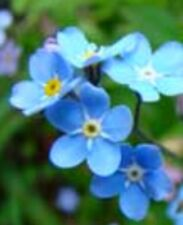 Forget-Me-Nots, Returns every year, 100 Seeds Heirloom charm🔥 CabinFeverTraders