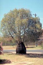 BOTTLE TREE (Brachychiton rupestris) 10 seeds