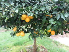 Meyer Lemon (10 seeds) Edible Fruit - Organic - Fresh - from a very old tree